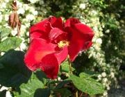 rosa-selvatica-assisi